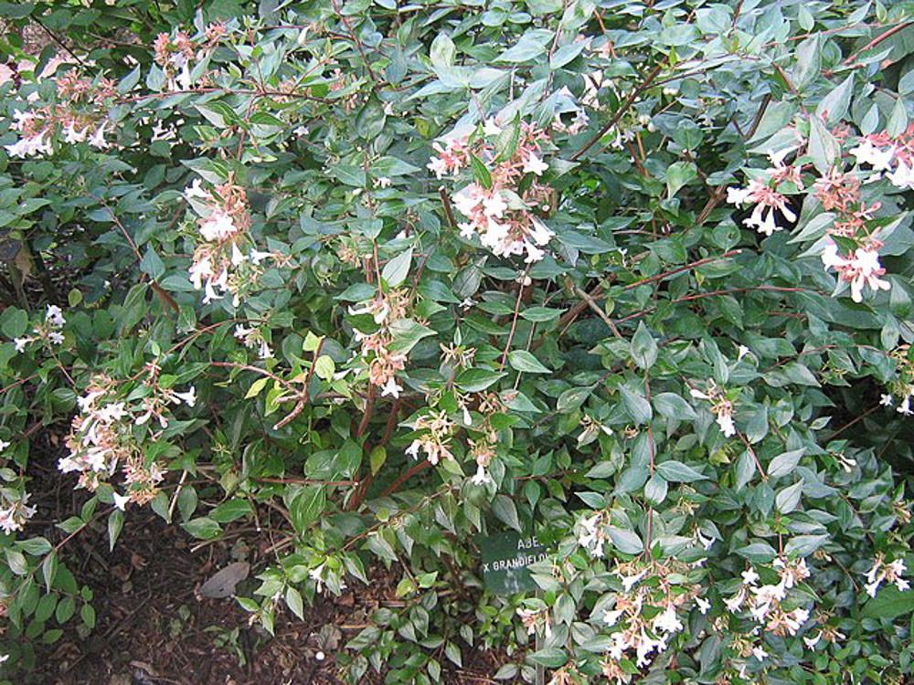 Abelia grandiflora-Abelia