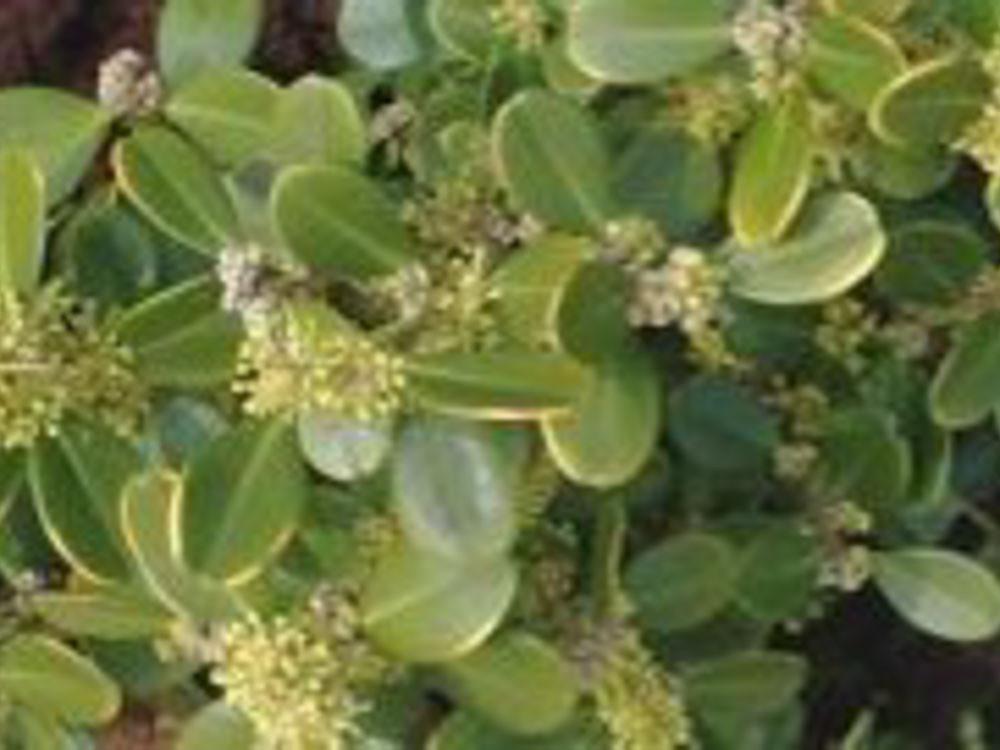 Buxus pumila Nana-Bosso nano