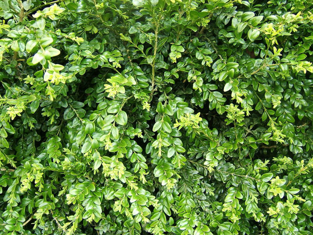 Buxus sempervirens-Bosso comune