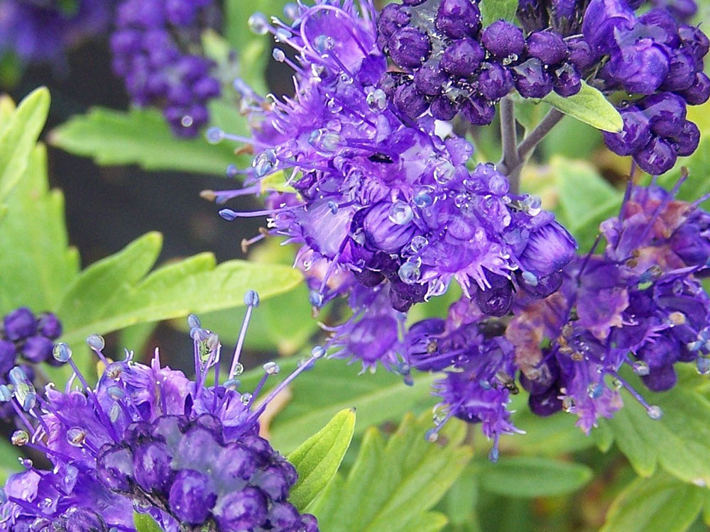 Caryopteris x clandonensis First Choice