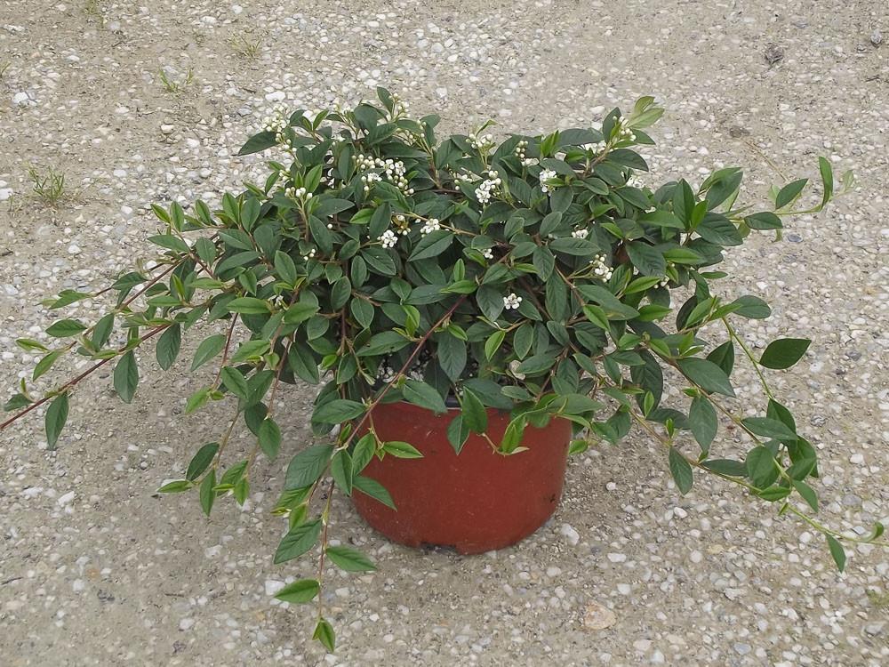 Cotoneaster salicifolia repens