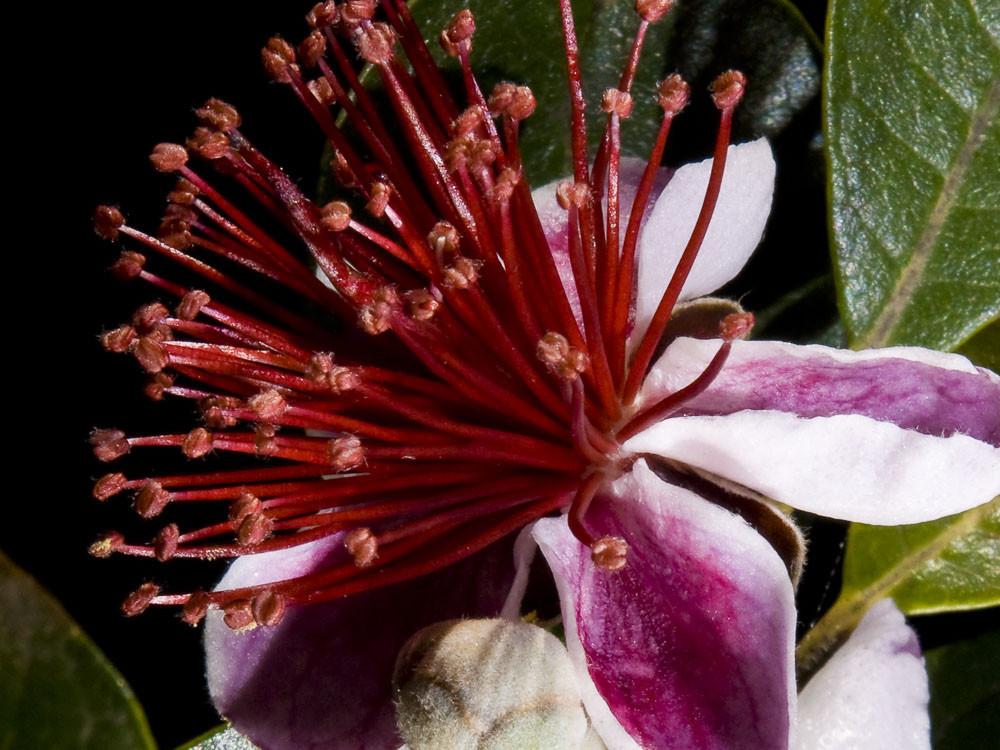 Feijoa sellowiana