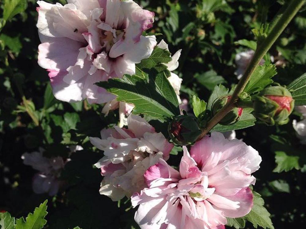 Hibiscus syriacus  Pink Spot
