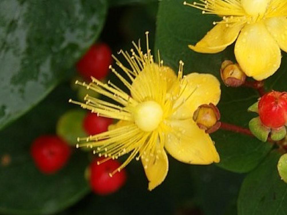 Hypericum inodorum Elstead- Iperico