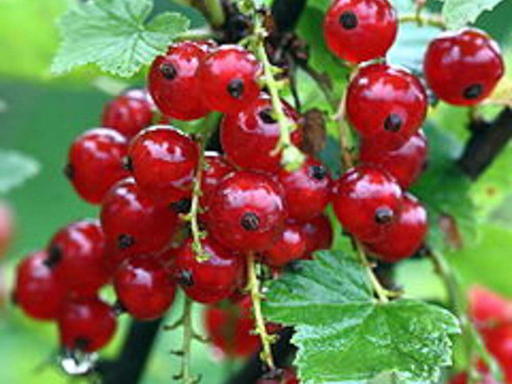 Ribes rubrum -Ribes a frutto rosso