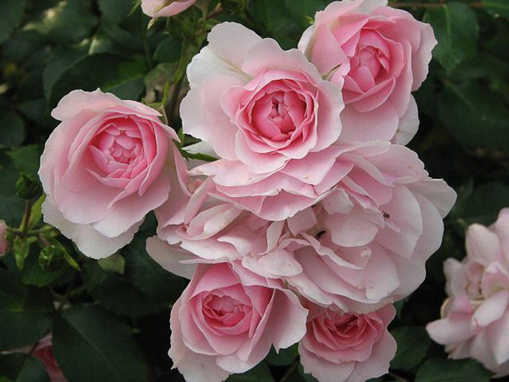 Rosa Bonica 82  Meilland