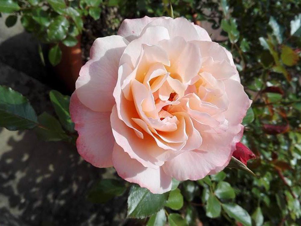 Rosa Botticelli Meilland