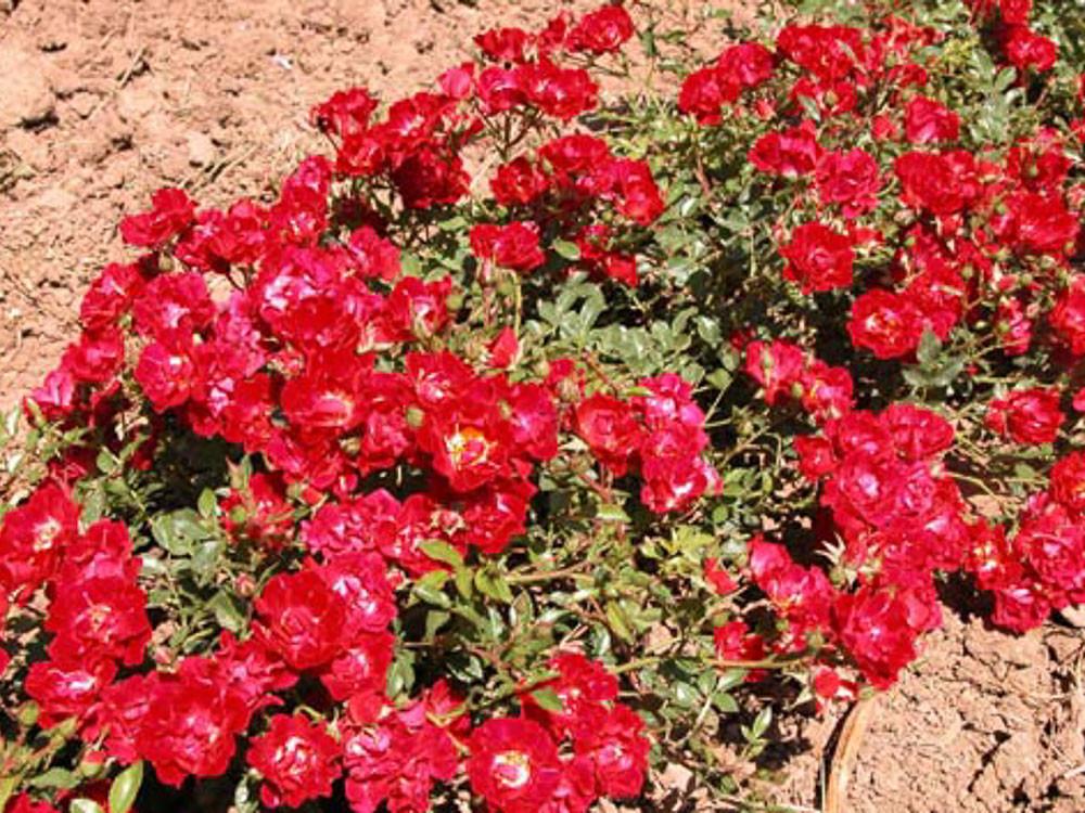 Rosa Nature Meidiland