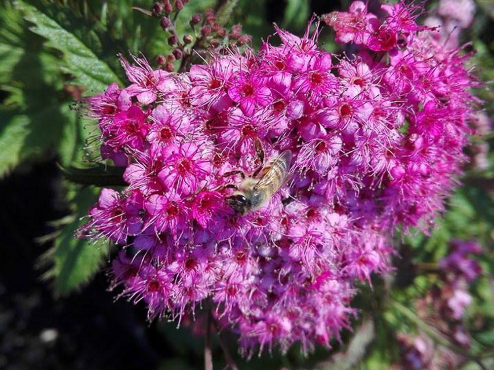 Spiraea japonica Crispa - Spirea