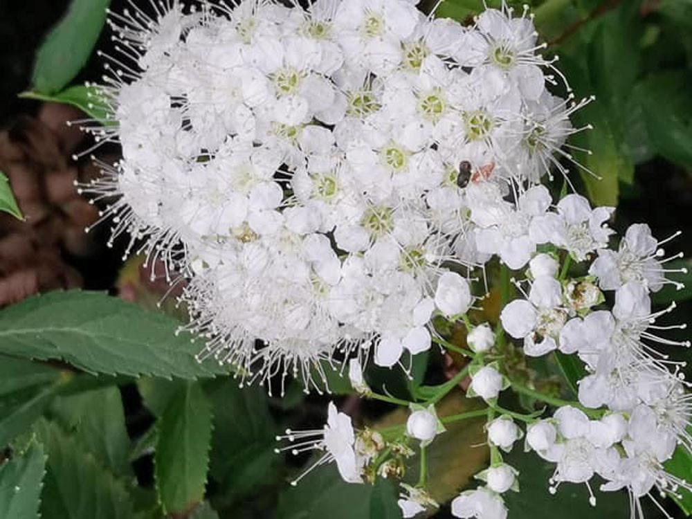 Spiraea japonica Alba, o albiflora - Spirea