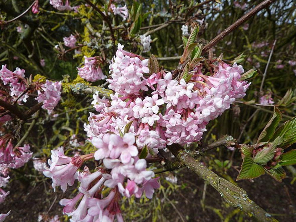 Viburnum x bodnantense Dawn- viburno