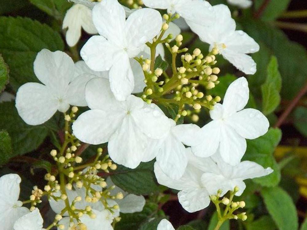 Viburnum plicatum Mariesii Great Star