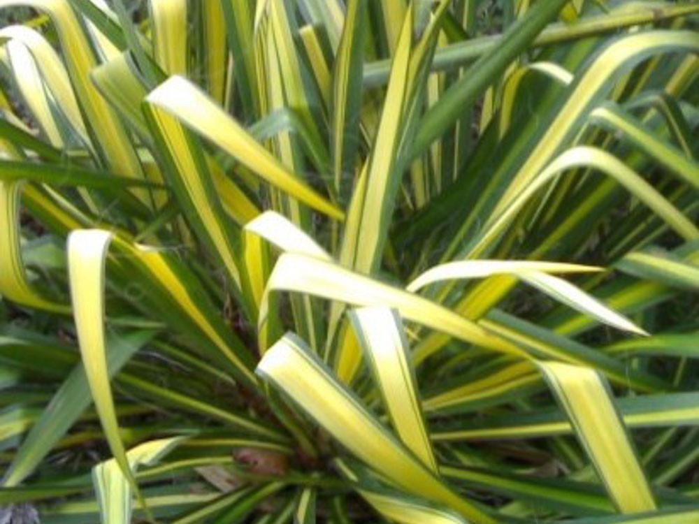 Yucca flaccida Golden Sword