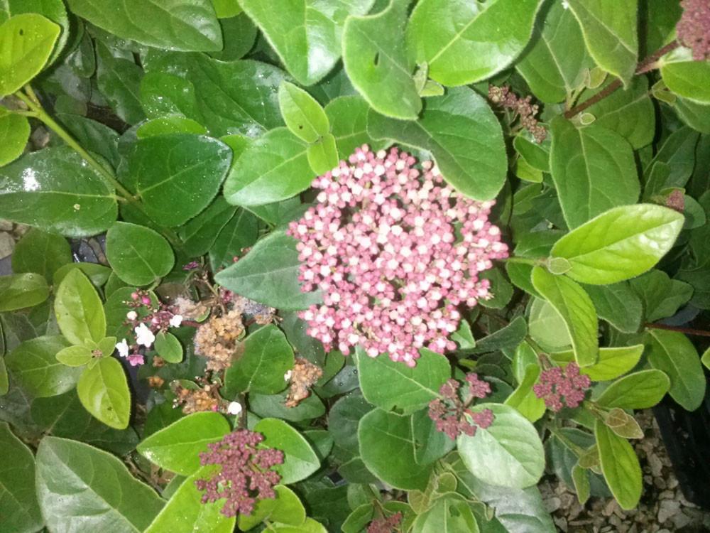 Viburnum tinus Spirit