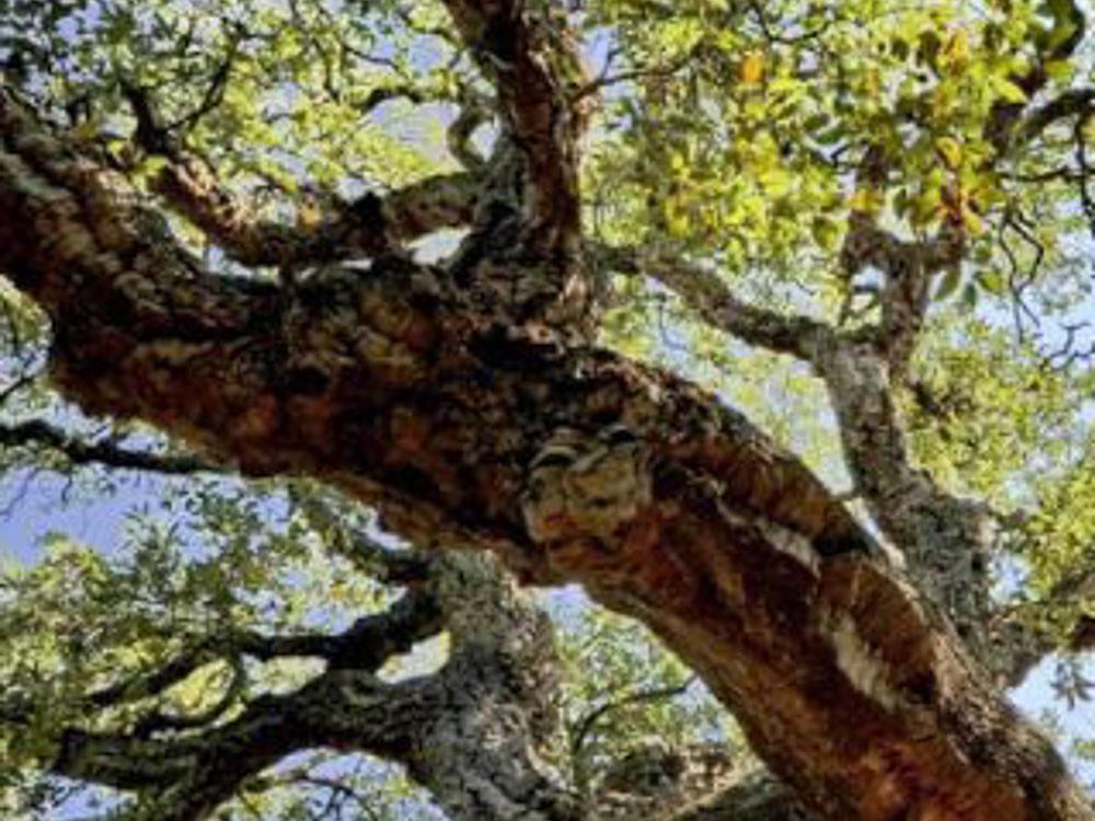 Quercus Suber - Sughera