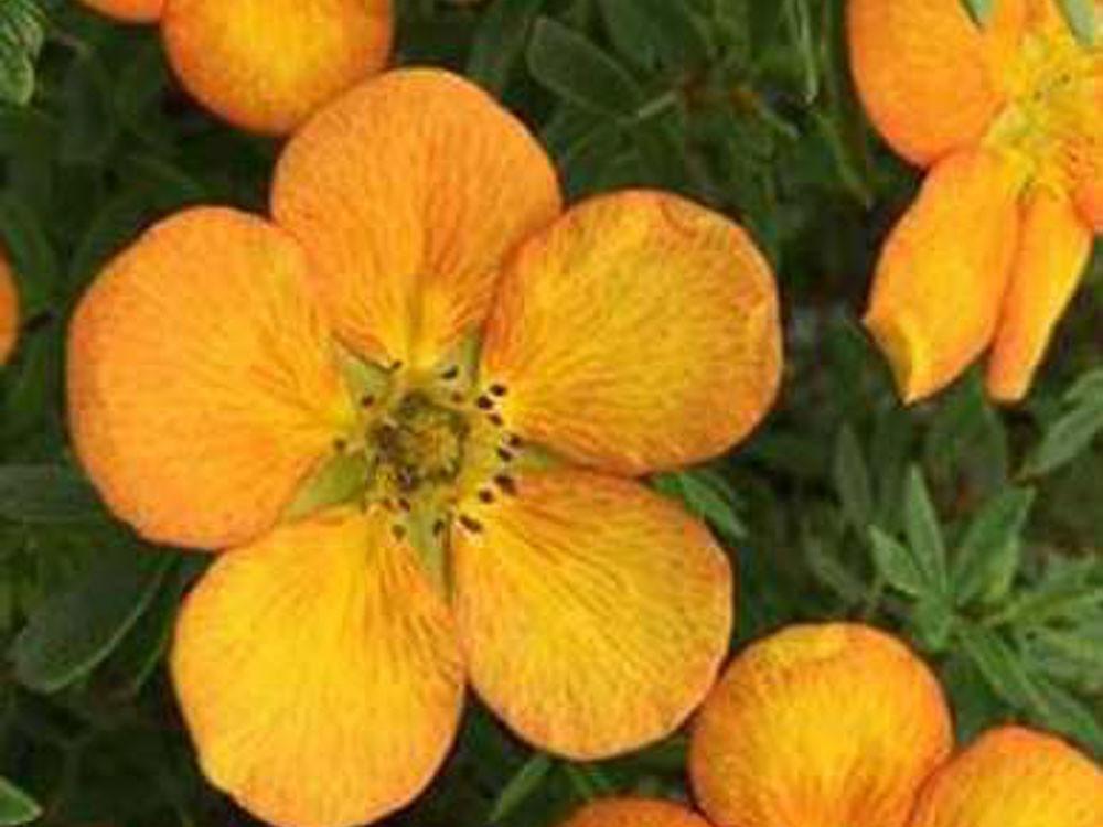 Potentilla Fruticosa Bella Sol