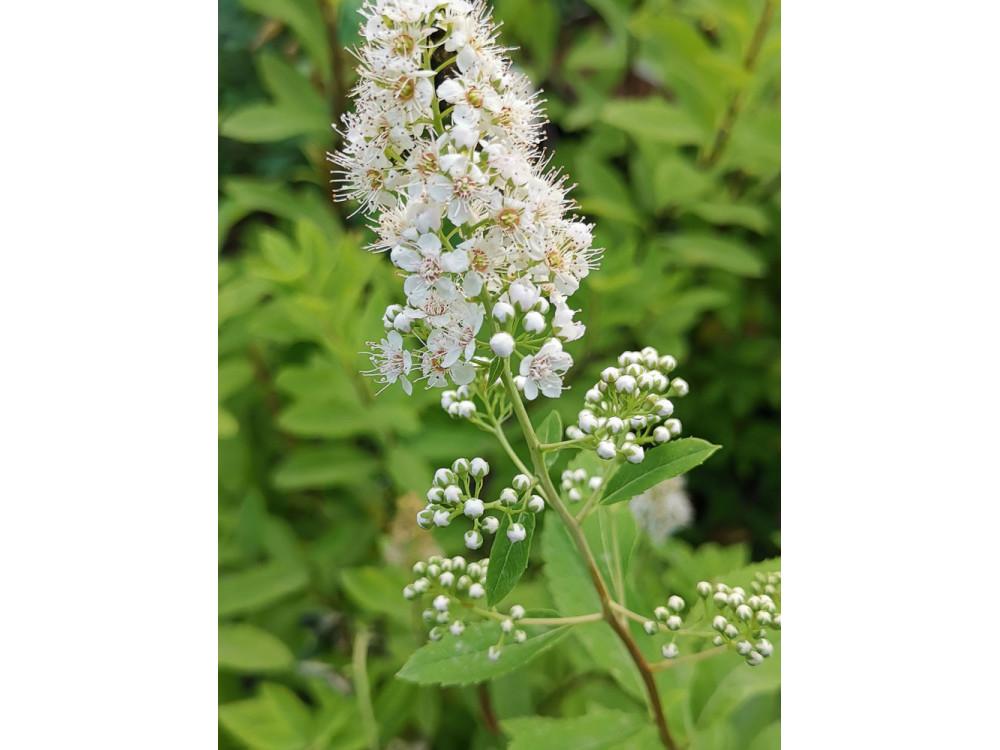 Spiraea alba latifolia - Spirea