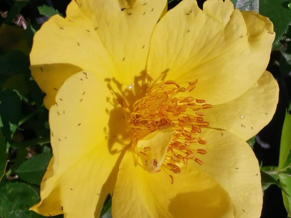 Rosa Lemon Fizz