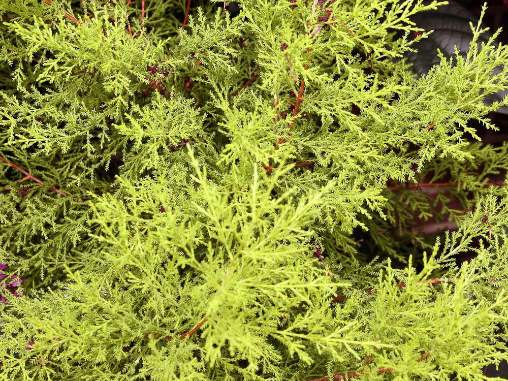 Cupressus macrocarpa Gold Crest