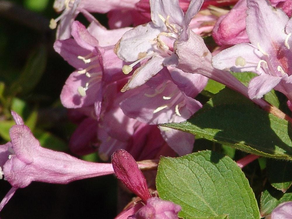 Weigela florida pink princess
