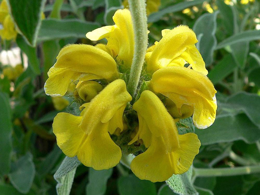 Phlomis fruticosa - salvia di gerusalemme